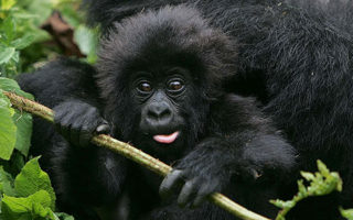 6 Days Gorilla Trekking and Chimpanzee Safari