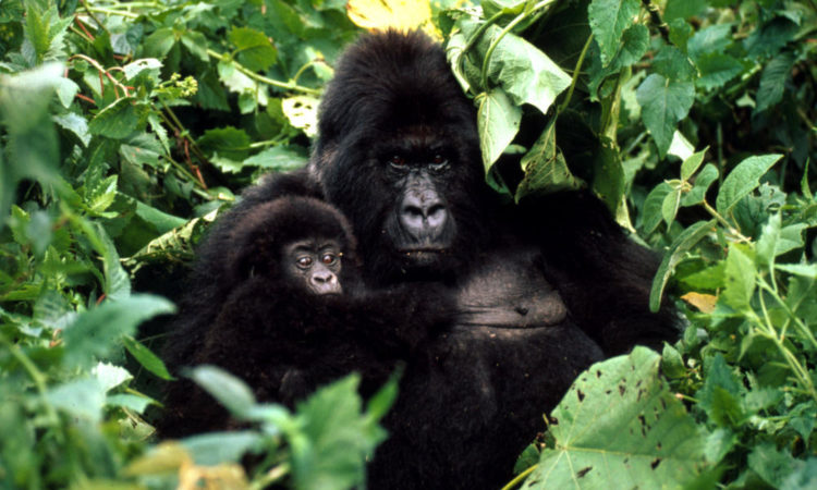 5 Days Chimpanzee Sanctuary and Gorilla Safari