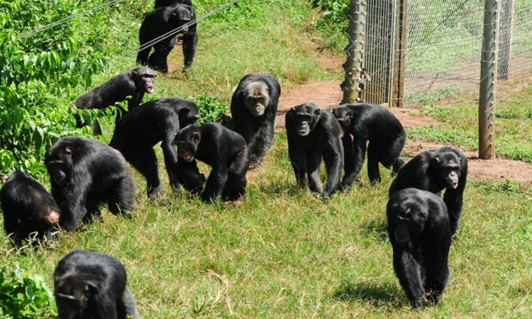 3 Days Ngamba Chimpanzee Sanctuary tour