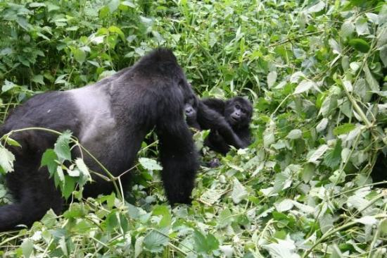 3 days bwindi gorilla trek