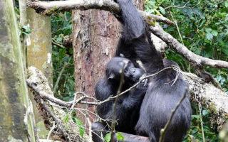 3 Days Rwanda Chimpanzee