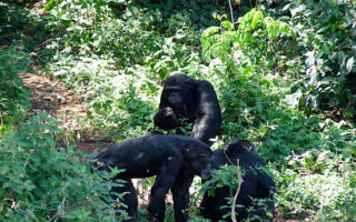3 days kibale chimpanzee