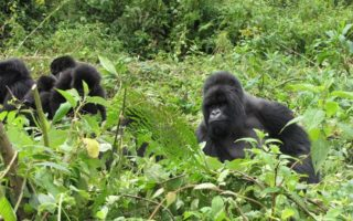 4 Days Bwindi Gorilla Trek