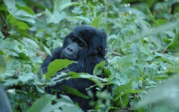 1 Day Rwanda Gorilla Trek