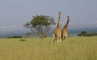 17 Days Uganda Safari