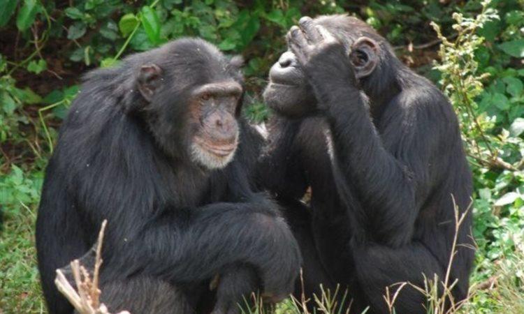 Ngamba Island Chimpanzee Trekking