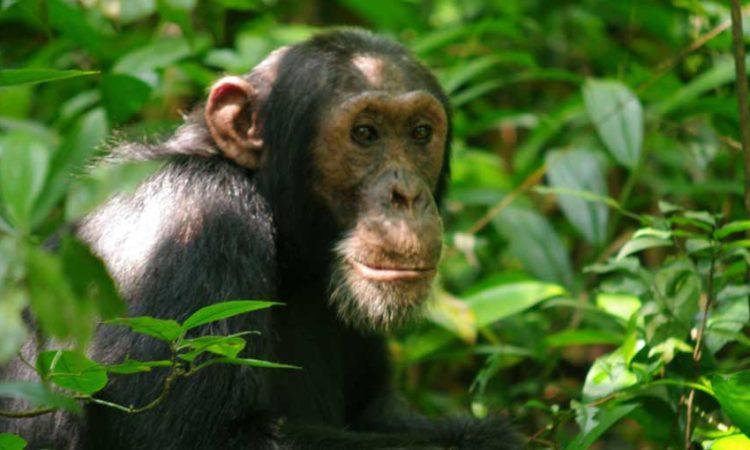 5 Days Ngamba Island and Kidepo National Park Safari