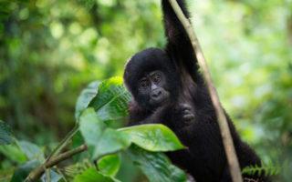RDB Increases Rwanda Gorilla Permits