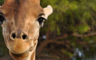 Rwanda Giraffe