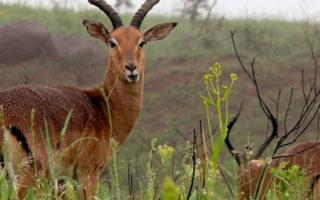 Uganda Safari Impala