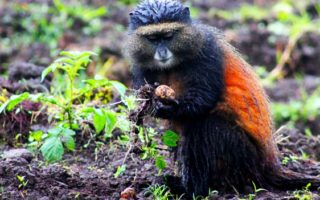 2-days-golden-monkey-tracking-tour-rwanda