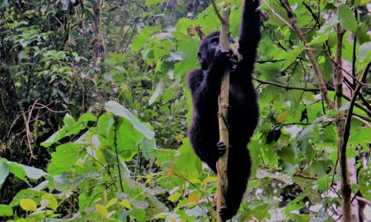 Gorilla-in-Bwindi-Best-Time-Gorilla-Link-Tours-1024x768