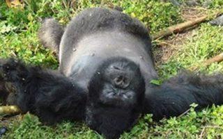 Gorilla-poaching