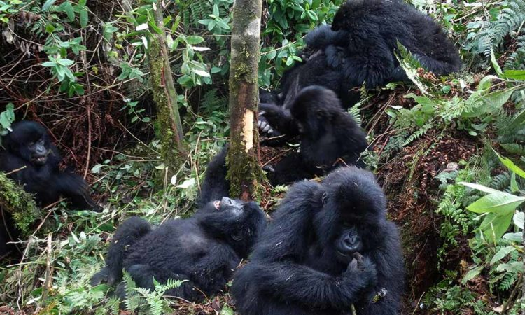 Uganda-Gorilla-Tracking-Safari-Through-Kigali