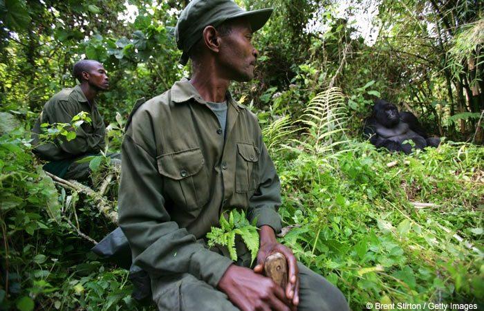 Virunga-rangers-with-gorilla1