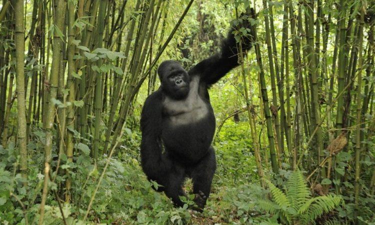 bamboo-tree-gorillas