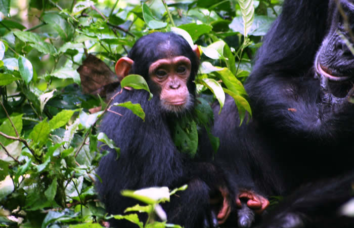 chimp tracking safari kibale