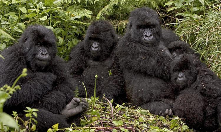 mountan gorilla familty uganda