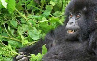 3 Day Mountain Gorilla Trekking Safari