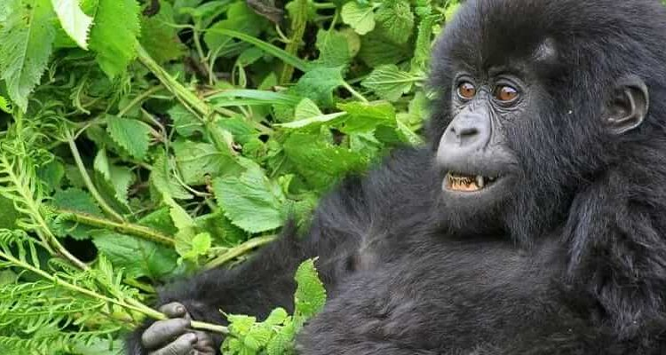 3 Day Mountain Gorilla Trekking Safari