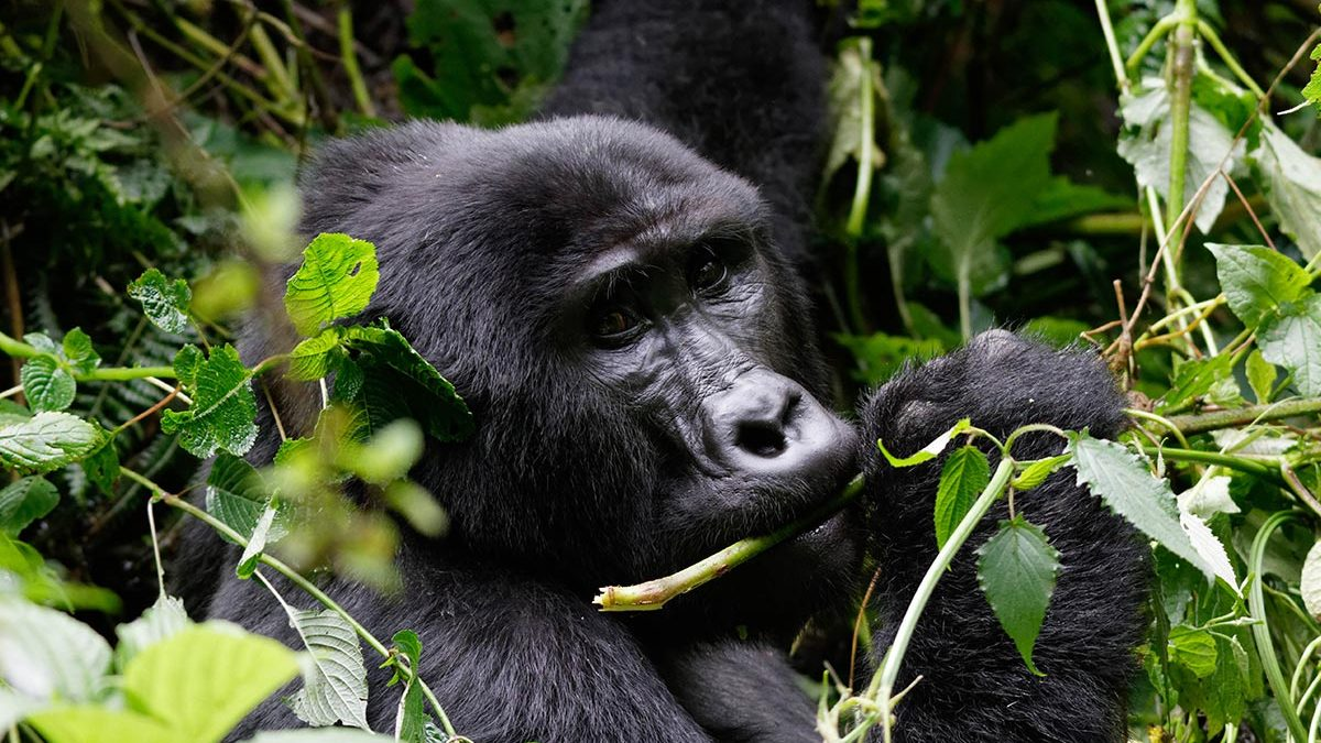 5 Days Bwindi & Queen Elizabeth Tour