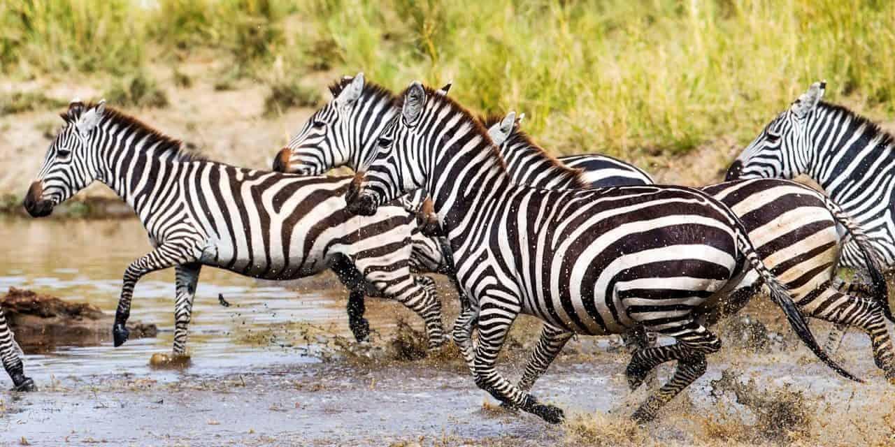 Zebras | Uganda Wildlife Species | Wildlife Species in Uganda