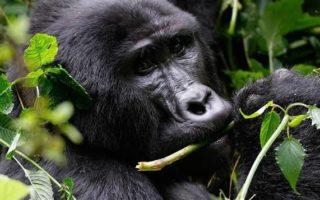 Gorilla Trekking in Volcanoes National Park