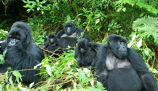 Gorilla Families in Bwindi