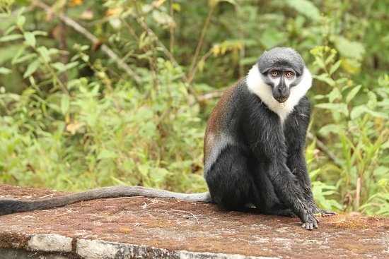 Primates in Nyungwe National Park