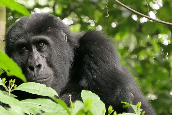 4 Days Congo Gorilla Trekking & Nyiragongo Hike