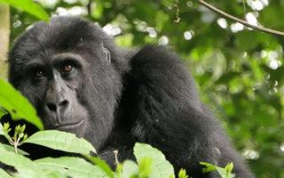 13 Days Uganda Rwanda & Congo Safari