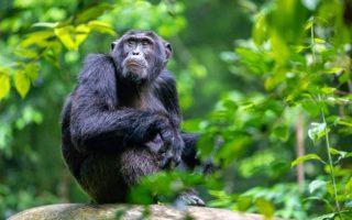 6 Days Rwanda Uganda Chimpanzee Safari