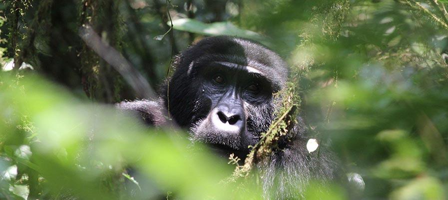 Gorilla Trekking in Uganda in April