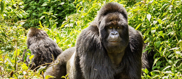 6 Days Virunga Gorilla Trekking & Nyiragongo Safari