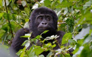 9 Days Best of Rwanda & Uganda Primates Safari