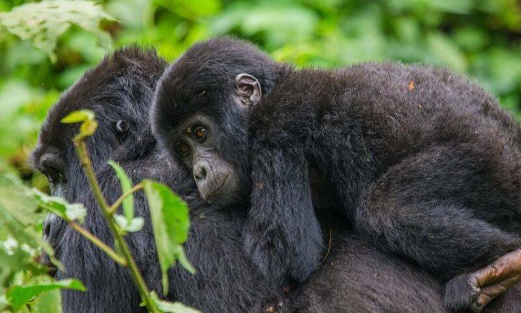3 Days Rwanda Gorilla and Cultural tour