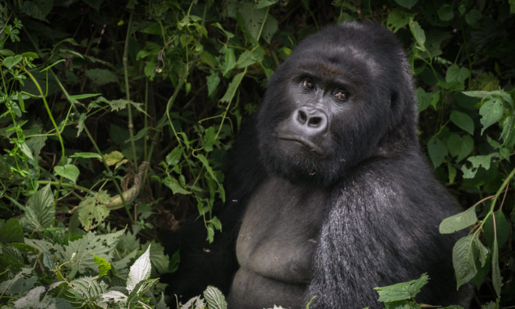 Gorilla Trekking Seasons in Uganda