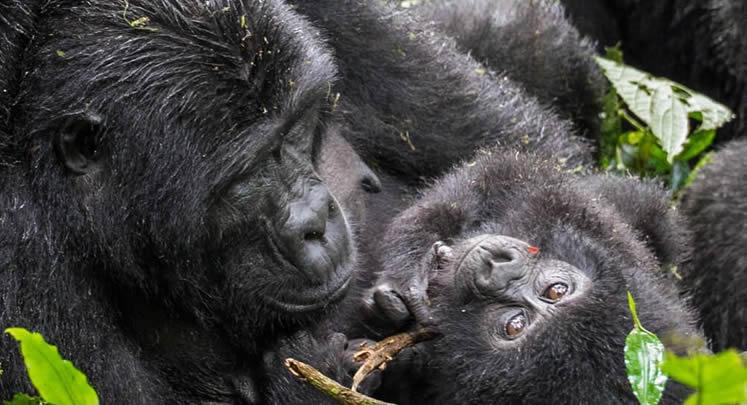 7 Days Congo Rwanda Primates Safari