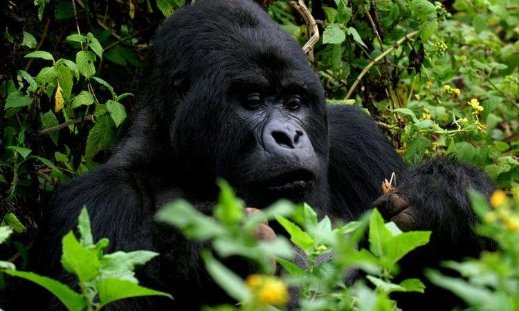 Safaris in Uganda and Rwanda