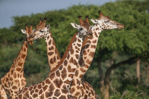 6 Days Best of Congo & Rwanda safari