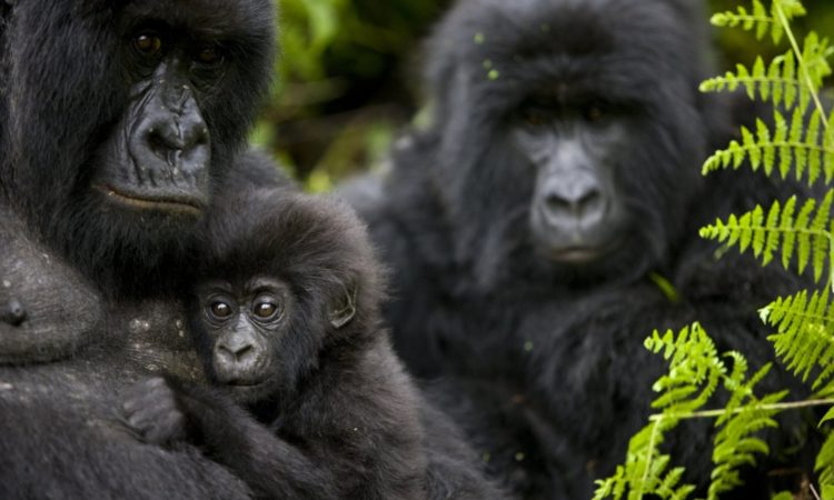 The Top 4 Places For Mountain Gorilla Trekking
