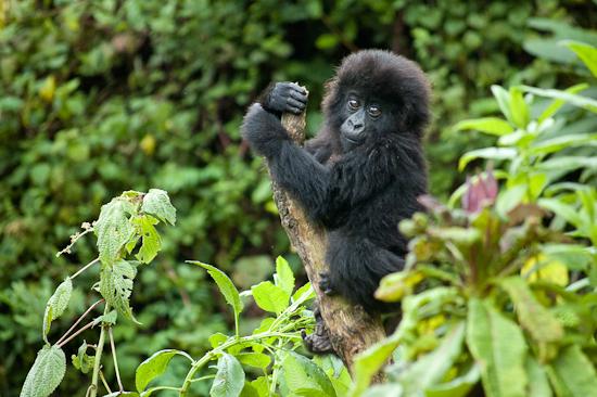 Mountain gorilla Habitat