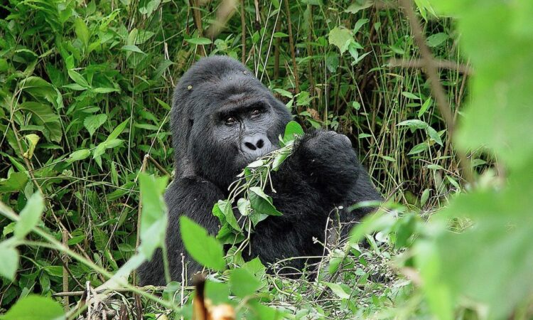 5 Days Gorilla trekking and Mount Sabinyo hike