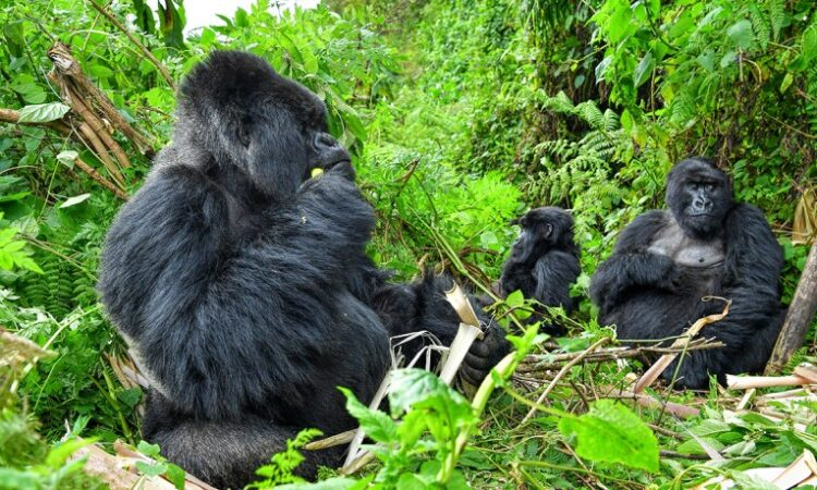 The Mountain Gorilla trekking experience
