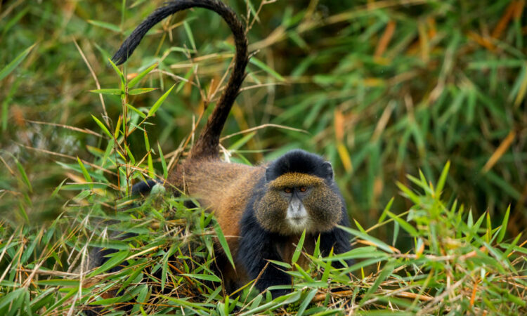 5 Days Rwanda Golden monkey and Chimpanzee trekking Safari