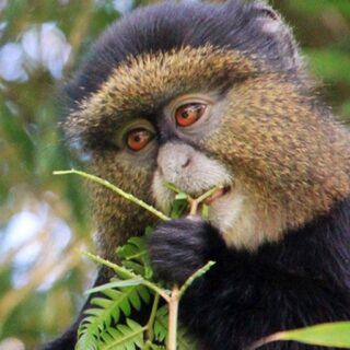 5 Days Rwanda Golden monkeys and Chimpanzee trekking Safari