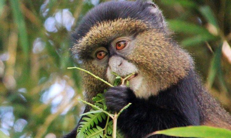 5 Days Rwanda Golden monkeys and Chimpanzee trekking Safari