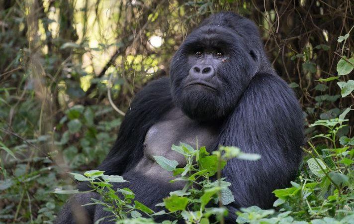 Mountain Gorilla Trekking Rules in Uganda 2021