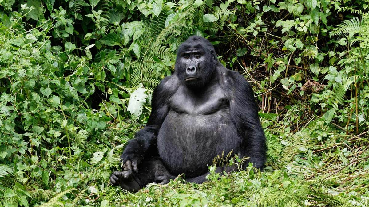 Can I use my negative COVID-19 PCR test certificate for mountain gorilla and chimpanzee trekking?