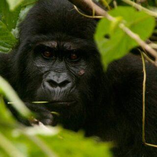 8 Days Uganda Rwanda Congo Gorilla Trekking tour